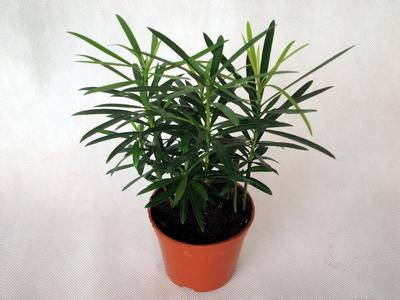 羅漢松水培植物